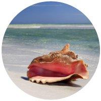 Conch shell near surf